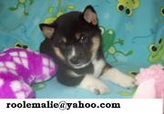 FLAMBOYANT SHIBA INU PUPPIES READ FOR YOU WELL BEHAVE PUPPIES.